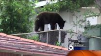 Backyard Bears on the Prowl Again in SoCal