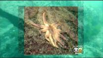 Mystery Plague Killing Sea Stars Has Scientists Scrambling For Answers
