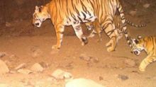 Tigress Avni's cubs spotted in Maharashtra's Yavatmal today