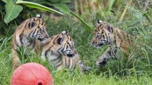 Watch adorable 10-week-old tiger cubs explore jungle habitat for first time
