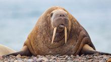 Grausame Szenen bei Netflix-Doku: Haben wir das Walross-Sterben zu verschulden?