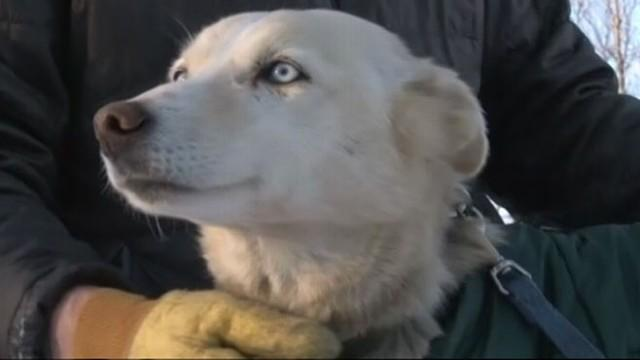 Iditarod Race 2013: Missing Sled Dog Found