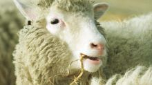 Dolly the cloned sheep was not old before her time: study