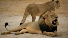 Researchers mourn killing of Cecil the lion's cub