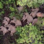 Stop what you're doing, and please watch this herd of elephants take a group nap