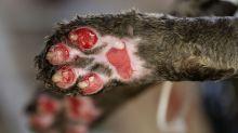 Veterinarios en Brasil curan jaguares tras incendio en selva