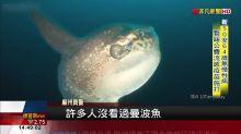 曼波魚曬日光浴 居民誤認海豹.鯊魚報警