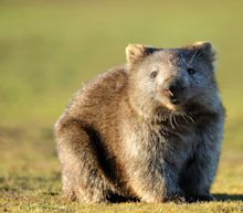Scientists Have Finally Figured Out Why Wombats' Poop Is Shaped Like a Cube