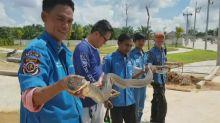 Cobra-rei é capturada em esgoto na Tailândia