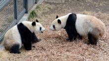 Baby bump: China eatery in Japan soars on pregnant panda hopes