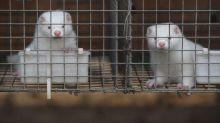 Coronavirus: le Danemark entame l'abattage de centaines de milliers de visons