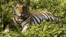 MP's Tiger Conservation Losing Teeth as Big Cats Continue to Drop Dead