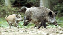 Tierseuche: Schweinepest: Berliner zur Vorsicht aufgerufen