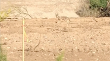 'Looney Tunes' comes to life as man captures video of coyote chasing a roadrunner