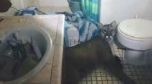 Mountain Lion Found Chilling In Couple's Bathroom After 911 Call