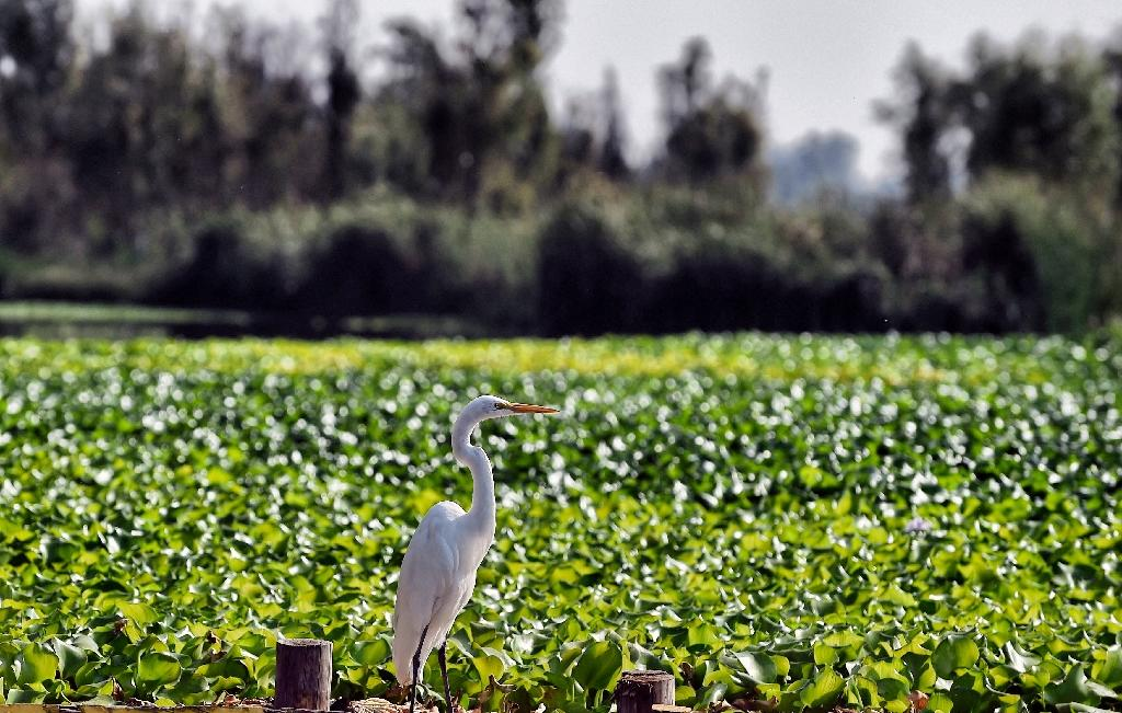 Xochimilco is an idyllic network of lakes, canals and artificial islands improbably tucked into the urban sprawl of Mexico City, and it is a green lung vital to the health of smog-choked Mexico City (AFP Photo/ALFREDO ESTRELLA)
