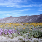Park Visitors, and Butterflies, Enjoy Wildflower Super Bloom in California Desert
