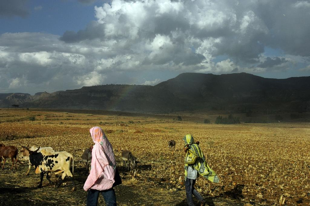 Ethiopian cattle herders walk their cows near the nothern town of Adwa, on November 19, 2005 (AFP Photo/Marco Longari)