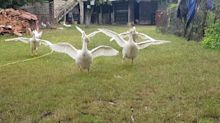 Geese rush in delight to owner's call