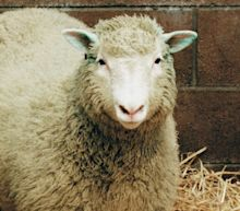 Dolly the sheep was as healthy as a normal ewe, scientists conclude after studying bones