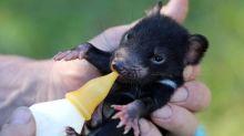 Des diables de Tasmanie réintroduits dans la nature en Australie continentale