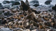 """""""Hässliches Entlein"""": Forscher sorgen sich um weißes Seebären-Baby"""