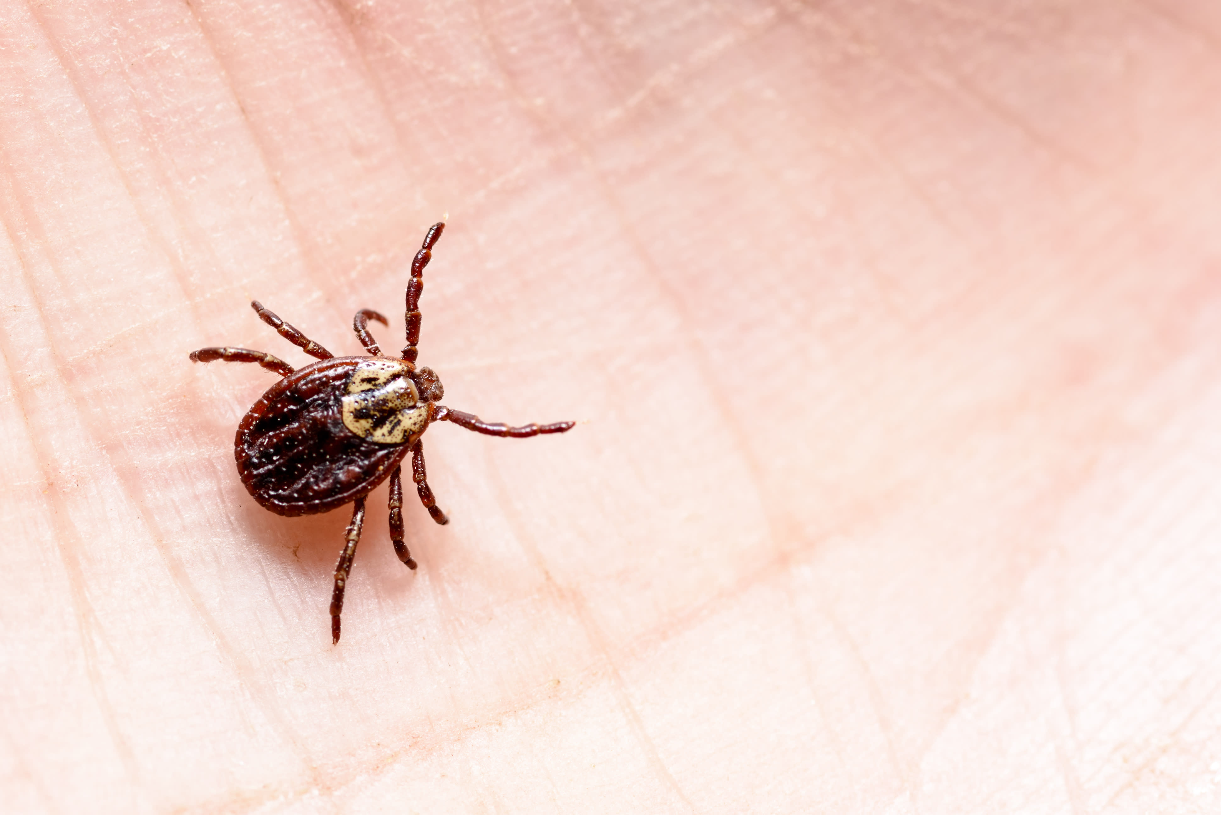 pictures of ticks - HD 3884×2593