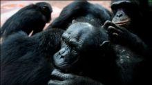 Patent auf gentechnisch veränderte Schimpansen aufgehoben
