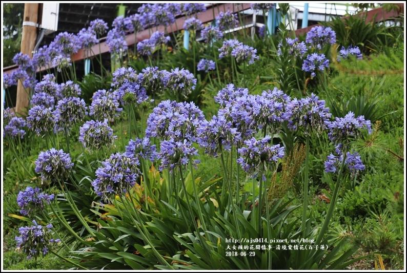 清境愛情花(百子蓮)-2018-06-16.jpg