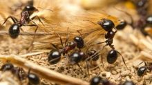 Watch ants help their wounded nestmate