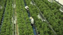 Canopy signs US$3.4B deal to buy N.Y.-based Acreage Holdings if pot legal in U.S.