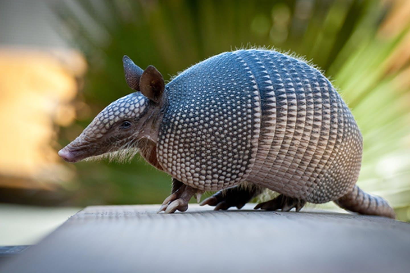 Humans gave leprosy to armadillos – now they are giving it back to us - Yahoo News