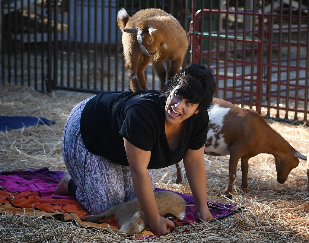 """""""Goat Yoga"""" is the latest fitness craze sweeping the United States (AFP Photo/Mark RALSTON)"""
