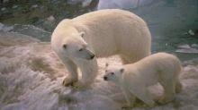 Aquecimento global pode levar à extinção de ursos polares antes de 2100, diz estudo