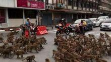 Tawuran Massal Monyet Turun ke Jalanan Thailand Bikin Macet, Horor
