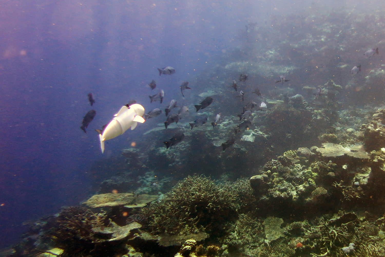 MIT's ocean-exploring robotic fish takes a test swim through a Fiji reef