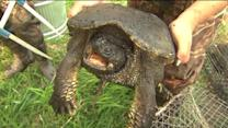 Cook County wildlife crews tagging turtles to track whereabouts