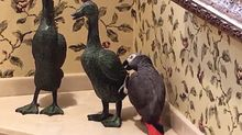 Loving Parrot Gives Valentine's Kiss To Duck Statue