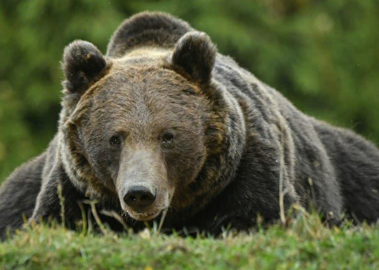 Romania has Europe's highest number of brown bears (AFP Photo/Daniel MIHAILESCU)