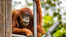 Ältester Sumatra-Orang-Utan der Welt gestorben