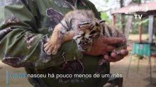 Covid: o filhote de tigre com nome de pandemia