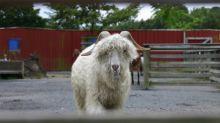 Gap, Zara et H&M renoncent au mohair pour protéger les chèvres