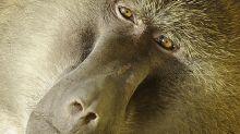 Runaway baboon at hospital for vasectomy