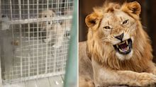 Zoo busted trying to use golden retriever as lion
