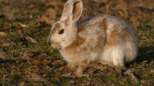 Animals Have Stopped Turning White for Winter in Alarming Climate Change Trend