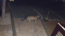 Boulder Motel Hosts an Unexpected Guest - a Mountain Lion