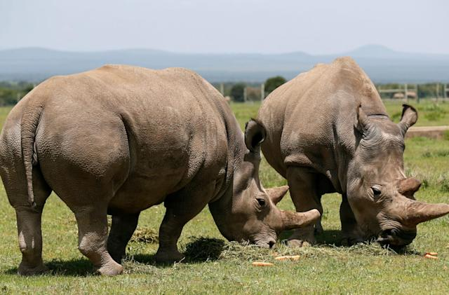 Lab-made embryos may save near-extinct rhino species