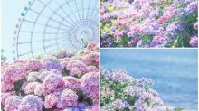 日本超靚花海第二彈 紫色繡球花全開Twitter熱傳