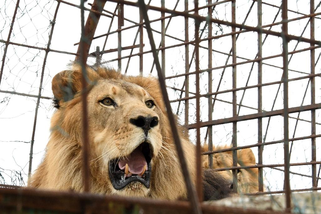 Zhaku, one of three lions rescued from 'hellish' conditions at an Albanian zoo (AFP Photo/Gent SHKULLAKU)