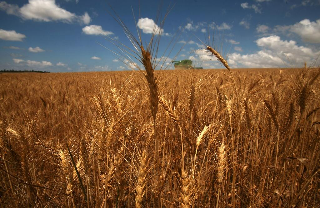 """Global wheat production increases are being led by India, the US and Russia, which is """"poised to overtake the European Union as the grain's largest exporter"""", the UN's Food and Agriculture Organization says"""